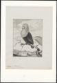 Columba nitidissima - 1750-1790 - Print - Iconographia Zoologica - Special Collections University of Amsterdam - UBA01 IZA1000180.tif