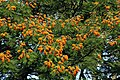 Colvillea racemosa 50D 5948.jpg