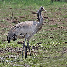 Common Cranes (Grus grus)- Immatures at Bharatpur I IMG 5656.jpg