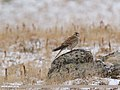 Common Kestrel (Falco tinnunculus) (45661289415).jpg