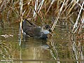 Common Moorhen (Gallinula chloropus) (24663660342).jpg