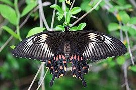 Common Mormon - Papilio polytes - கறிவேப்பிலை அழகி.jpg