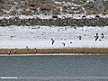 Common Shelduck (Tadorna tadorna) & Ruddy Shelduck (Tadorna ferruginea) (39608269942).jpg