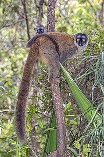 Lemuridae Family of lemurs