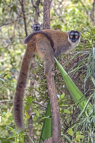 Lemuridae - Common brown lemur (E. fulvus), female with juvenile