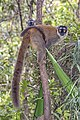 Common brown lemur (Eulemur fulvus) female with juvenile.jpg