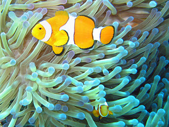 Biology - Mutual symbiosis between clownfish of the genus Amphiprion that dwell among the tentacles of tropical sea anemones. The territorial fish protects the anemone from anemone-eating fish, and in turn the stinging tentacles of the anemone protects the clown fish from its predators.