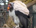 Condor Lowland.PNG