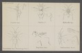Conurus - Print - Iconographia Zoologica - Special Collections University of Amsterdam - UBAINV0274 046 11 0003.tif