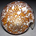 Conus textile (textile cone snail) 6 (31207862306).jpg