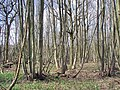 Coppicing in Wingate Wood - geograph.org.uk - 1227972.jpg