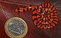 Coral Cylinder Snake (Anilius scytale) neonate ... (40927420381).jpg