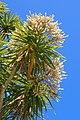 Cordyline australis kz05.jpg