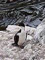 Cormorant des Kerguelen.jpg
