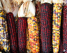 Maize/corn cobs in colours from yellow to red.