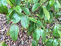 Cornus hongkongensis 02.jpg