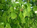 Cornus sanguinea 2c.JPG