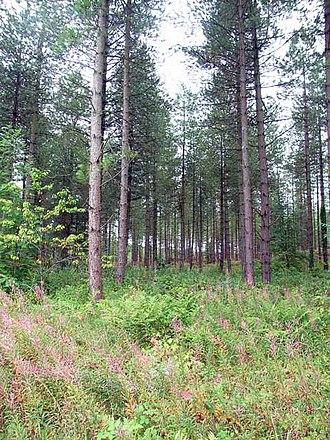 Newborough Warren - Corsican pines (Pinus nigra) in Newborough Warren