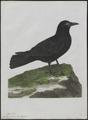 Corvus corone - 1790-1796 - Print - Iconographia Zoologica - Special Collections University of Amsterdam - UBA01 IZ15700215.tif