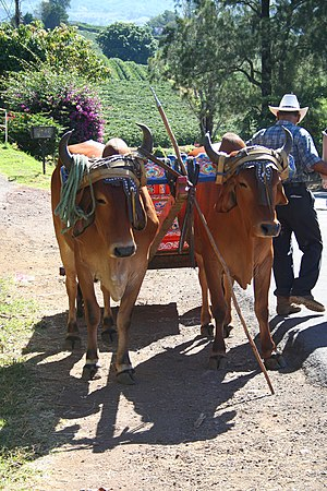 A pair of Costa Rican oxen