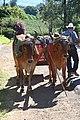 Costa Rican oxen closeup.jpg