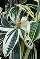 Costus speciosus variegatus kz2.jpg