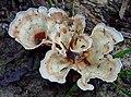 Cotylidia diaphana (Schwein.) Lentz 628556.jpg