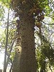 Couroupita guianensis Aubl. (346568154).jpg