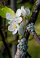 Crabapple blossoms (3860779414).jpg