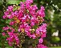 Crape Myrtle Blossoms (4832050497).jpg