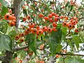 Crataegus phaenopyrum 3.jpeg
