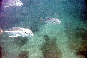 Crevalle jack - Several crevalle jacks over a reef in Florida