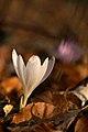 Crocus vernus ssp. vernus PID1004-1.jpg