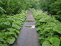 Cromford Canal Footpath Greenery - geograph.org.uk - 298591.jpg