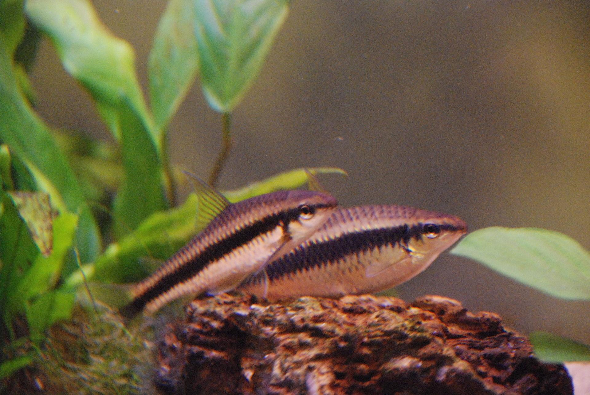 Crossocheilus Oblongus.JPG