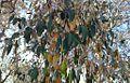 Croton gratissimus - Botswana Bot Gardens 5.jpg