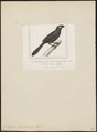 Crotophaga sulcirostris - 1838 - Print - Iconographia Zoologica - Special Collections University of Amsterdam - UBA01 IZ18800147.tif