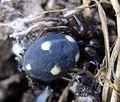 Crustulina guttata.Theridiidae - Flickr - gailhampshire.jpg