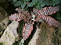 Cryptanthus fosterianus (TS) 2-05161.jpg