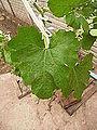 """Cucurbita pepo """"zapallo de Angola"""" semillería La Paulita - hoja de ejemplo (desarrollo 6).JPG"""