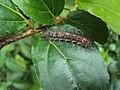 Cupha erymanthis - Southern Rustic Butterfly caterpillar on Flacourtia montana.JPG