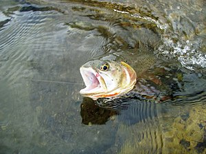 Cutthroat-Rainbow Hybrid trout, Gardner River,...
