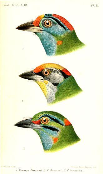 Moustached barbet - Head (bottom), illustration by Joseph Smit, 1891