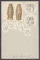 Cymothoa banksii - - Print - Iconographia Zoologica - Special Collections University of Amsterdam - UBAINV0274 006 03 0053.tif