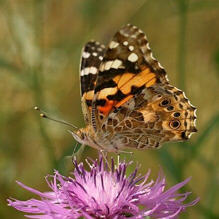 belle dame cynthia cardui une grande migratrice en europe