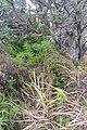 Cyperus albostriatus Schrad. (AM AK357214-5).jpg