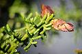 Cypress Gall Midge (Walshomyia cupressi) (10429944523).jpg