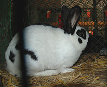 Czech spotted rabbit.jpg