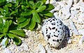 DSC00314 French Polynésia Rangiroa Atoll Egg of Sterna Bergii (9294173210).jpg