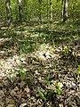 Dactylorhiza sambucina sl57.jpg